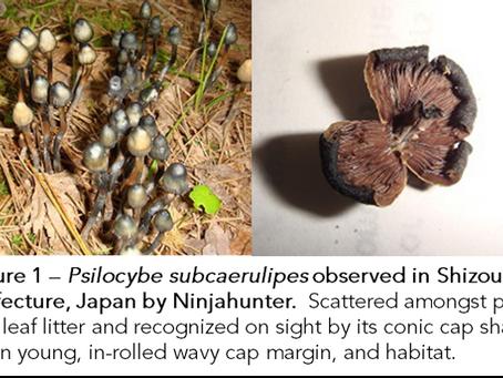Mycelia from Japanese entheogenic mushroom found to outperform pure psilocybin as treatment for OCD