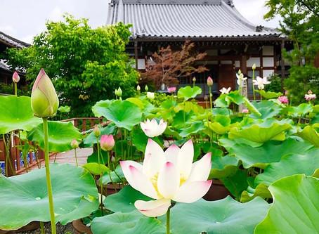 Bunga Lotus di Kuil Dairen-ji