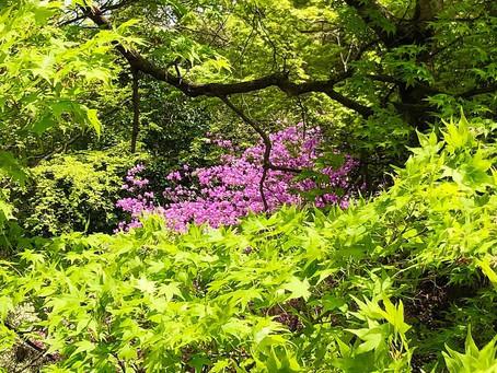Bunga Azeria dan Pemandangan Indah Taman Kameyama