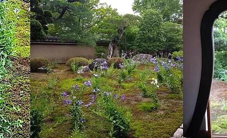 Bunga Kikyo di Kuil Tentokuin