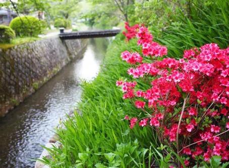 Philosoper Path dan Bunga Azalea