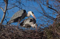herons calins