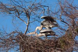 herons reproduction