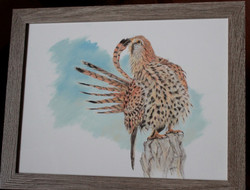 faucon crécerelle - pastel sec 30x40