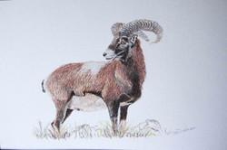 Mouflon - pastel sec - A4