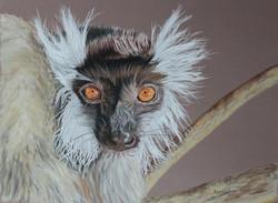 Lémur noir - femelle - pastel sec
