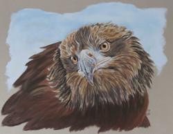 Aigle royal - pastel sec - 40x50cm