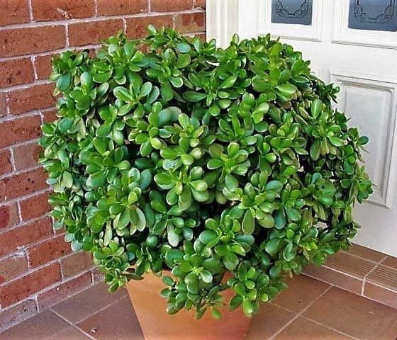 La planta del dinero (plectranthus)