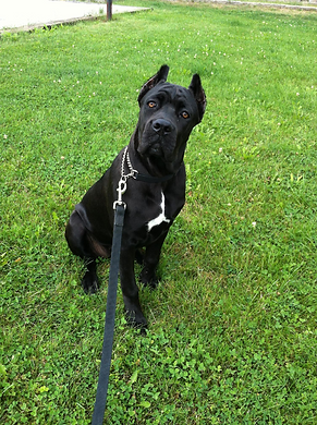 Trained Cane Corso, Mercedes