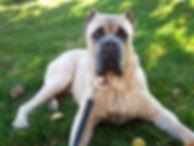 Cane Corso, Formentino, Cane Corso, Cane Corso puppy, Capital Cane Corso