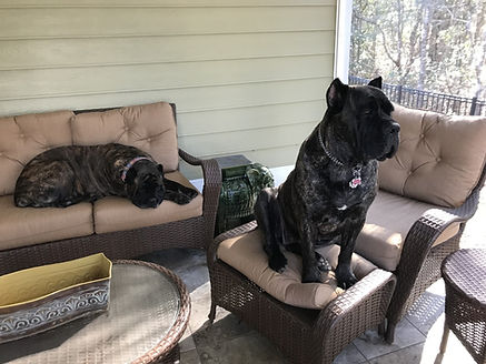 Trained Cane Corso pair