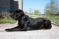 Cane Corso, black cane corso, cane corso pic, cane corso picture, capital cane corso