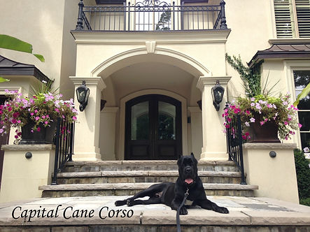 Trained Cane Corso