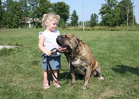 Trained Cane Corso, Trained dog, Trillium K-9 Training