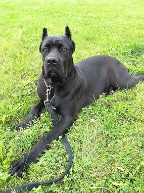 Cane Corso, Cane Corso puppy, Black Cane Corso