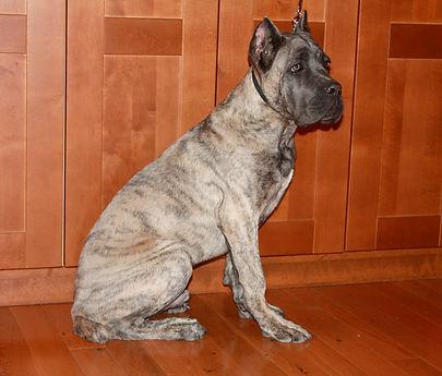 Cane Corso puppy MULTI CH Scandifio Gabbana Son, Capital Cane Corso
