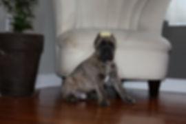 Cane Corso, Cane Corso puppy,Cane Corso, Cane Corso puppy, Capital Cane Corso