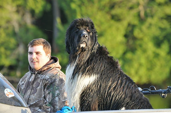 Trained Giant Newfoundlander