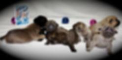 Cane Corso, Cane Corso puppy, Capital Cane Corso