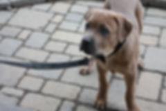 cane corso, cane corso dog, cane corso puppy, cane corso picture