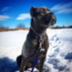Blue Cane Corso pup
