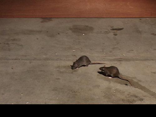 REAL RATS