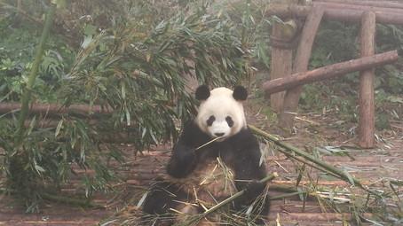 Chengdu, City of Panda Bears