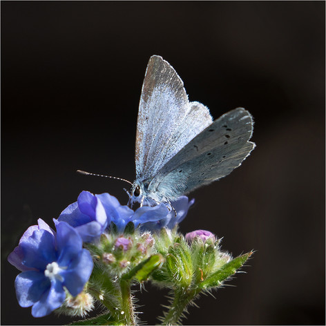 Holly Blue on Alkanet 2