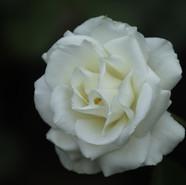 The White Rose, Symbol of Eternal Love