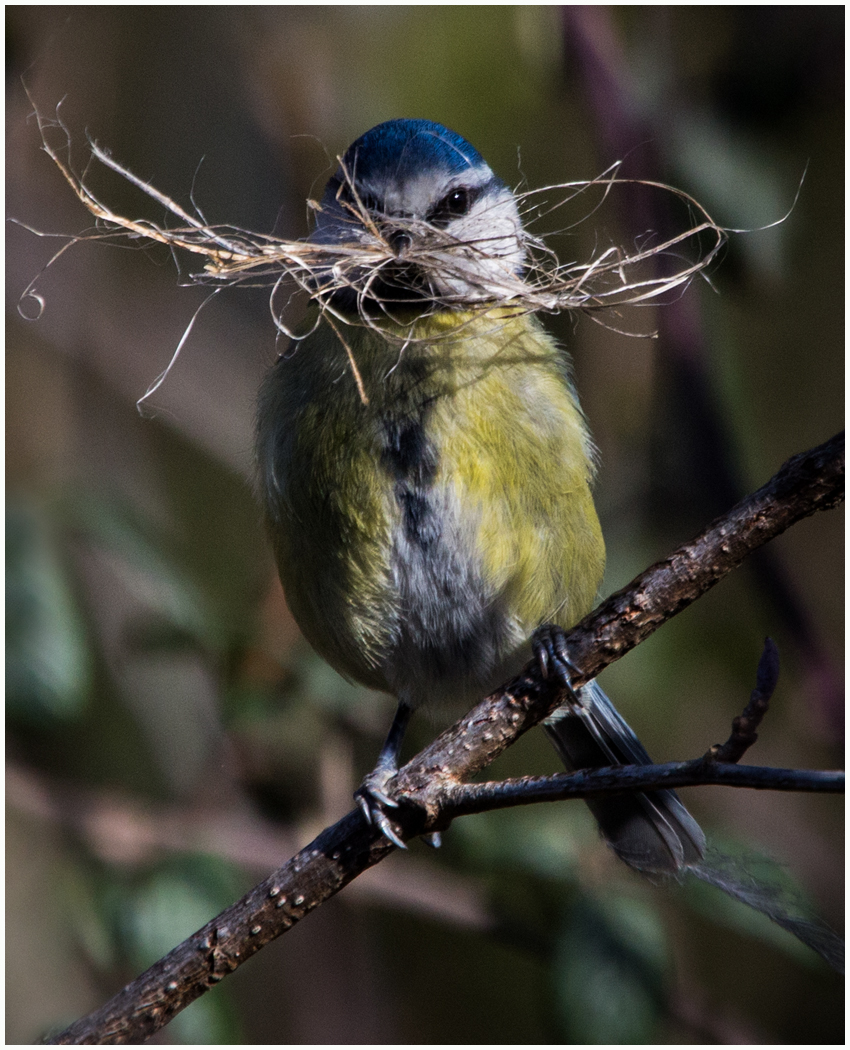 Blue Tit Nest Building