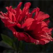 Opium Poppy (1)