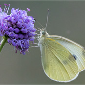 Large White Nectaring