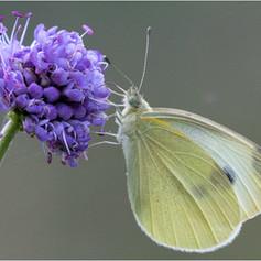Large White Nectaring