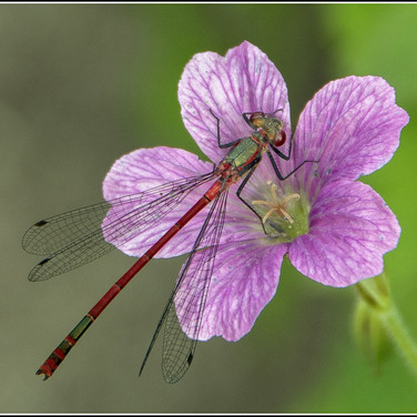 Red Damsel Fly