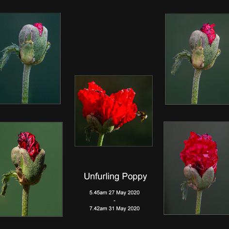 Unfurling Poppy
