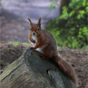 Red Squirrel Brownsea Island