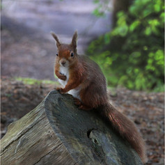 01_Red Squirrel Brownsea Island_R Betts.