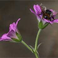 Bee on Geranium Thurstonianum