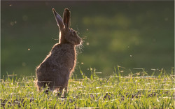 Brown Hare in Evening Light