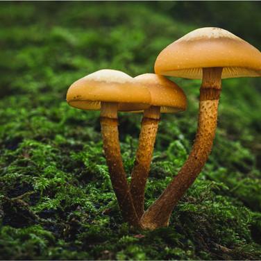 Brown Stew Fungus