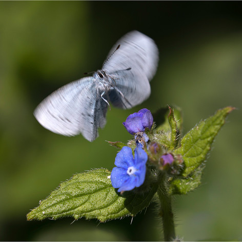 Holly Blue Alighting on Alkanet