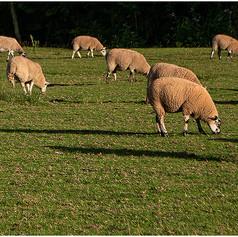 Sheep Shall Safely Graze