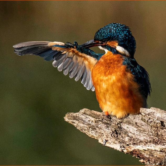 1st - Female Kingfisher B Green