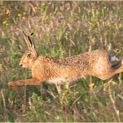 Hare in a Summer Meadow