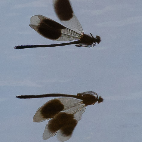 Damsel & Reflection