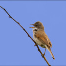 Whitethroat in Song