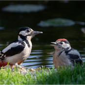Great Spotted Woodpecker & Young