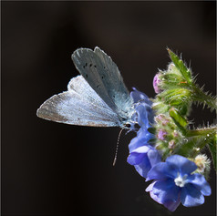 Holly Blue on Alkanet 1