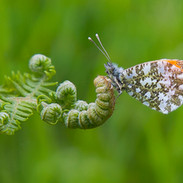 Orange Tip Butterfly on Bracken