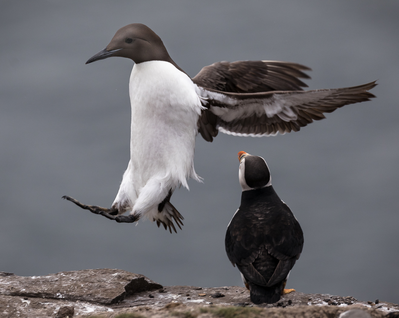 The Guillemot & The Puffin